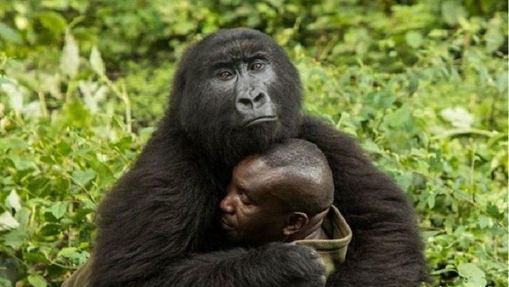 Congo: El amor de una gorila huérfana hacia su cuidador que da la vuelta al  mundo - Noticias Ambientales