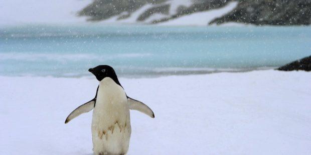 El Pingüino Emperador En Peligro De Extinción Por El Calentamiento Global